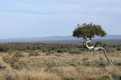 Wesveld, Oosveld, Niks soos Noorsveld.  Tree outside #Jansenville #South Africa -- the early trekkers made coffie out of the roots of this plant.  #Witgat_boom