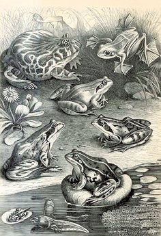 Antique Print Of Frogs