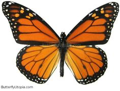 This free vector contain Monarch butterfly design. Danaus plexippus (or Monarch butterfly) is a butterfly of the Nymphalidae family. Butterfly Drawing, Butterfly Embroidery, Butterfly Wings, Butterfly Artwork, Butterfly Costume, Butterfly Quilt, Butterfly Mobile, Butterfly House, Butterfly Tattoos