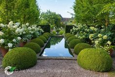Box topiary and containers of Hydrangeas at Wollerton Old Hall Garden in Shropshire. Photography by Joe Wainwright