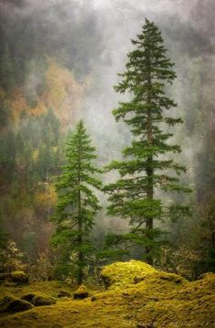 Fog surrounds evergreen pine trees.