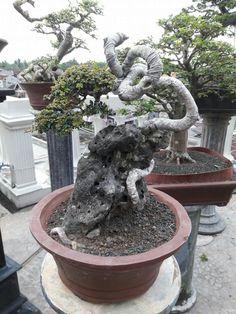 Tamarindus Indica, Bonsai Styles, Indoor Outdoor, Outdoor Decor, Tropical Flowers, Fountain, Patio, Garden, Nature