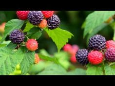 My black raspberries are popping out so delicious this year! Raspberry Plants, Blackberry, Black Raspberries, Cancer, Sweet, Gardens, Top, Candy, Outdoor Gardens