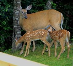 Mama deer and fawn
