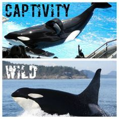 Over 50 orcas are living in captivity. Same for dolphins, especially in Taiji.