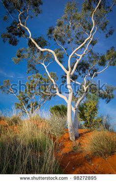 desert gum tree by Janelle Lugge, via ShutterStock