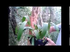 Passo a passo de como fixar orquídeas com fibra de coco em árvores MATERIAIS: Manta de fibra de coco; Arame e/ou barbantes; Esfagno ou outro substrato qualqu...