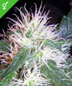 Misty Seeds -  Misty gives off a powerful sweet-musky smell with strong earthy and spicy elements. BUY YOUR OWN SEEDS HERE: http://weedseedshop.com/refer.asp?refid={28DF3583-3A1A-4991-93C0-FB5E09CF94DB}&PLU=1570023&l=1