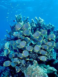"thelovelyseas: ""Meyer's Butterflyfish feeding on Acropora coral, Aldabra, Seychelles by David Hall "" Life Under The Sea, Under The Ocean, Sea And Ocean, Underwater Creatures, Underwater Life, Ocean Creatures, Acropora Coral, Les Seychelles, Beneath The Sea"