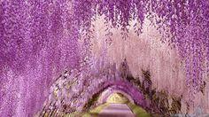 Wisteria tunnel, Kawachi gardens, Japan