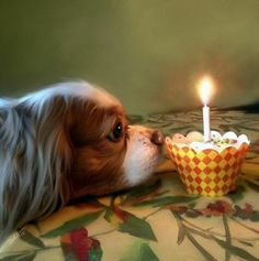 Cavalier King Charles Spaniel Dewey's wish www.Mark-Tonelli@Pixles.com