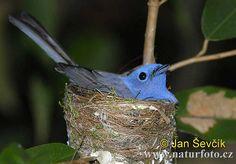 dusky-blue flycatcher (muscicapa sordida) on the nest, from sri lanka