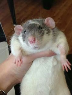 Now that's a squishy rat belly! he is so fat and cute an he looks like a JO! Cute Rats, Cute Hamsters, Cute Funny Animals, Animals And Pets, Baby Animals, Dumbo Rat, Rat Man, Fancy Rat, Cute Mouse