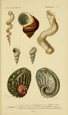 Abaloni, Worm Shell, Snail and Wental traps?  Dictionnaire universel d'histoire naturelle. v. 3 1849 - Atlas (Zoologie-Botanique)  Paris