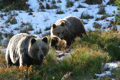 Niedźwiedzie brunatne, kozice, krokusy - czyli wiosna w Tatrach.