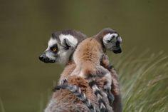 Nuevas crías de lemures, monos caí, llamas, emúes, coypos y maras en el Zoológico de Buenos Aires. Foto:/Gentileza Zoo de Buenos Aires