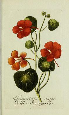 https://flic.kr/p/qvLnxC | n130_w1150 | Plantarum indigenarum et exoticarum icones ad vivum coloratae, oder, Sammlung nach der Natur gemalter Abbildungen inn- und ausländlischer Pflanzen, für Liebhaber und Beflissene der Botanik /. . biodiversitylibrary.org/page/44261783