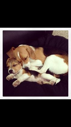 What's not adorable about these snuggling beagle babies?