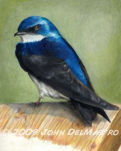 Bird Color Pencil Drawing  Swallow Portrait  Ace by by BlowUps, $30.00