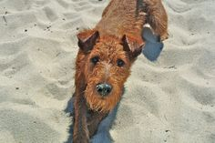 Irish Terriers, love playing in both sand and snow!