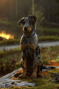 A handsome pup. Catahoula leopard dog mix, maybe? Or a beauceron puppy. Photo by Minyaloth on Deviantart. Love My Dog, Pet Dogs, Dogs And Puppies, Dog Cat, Pets, Pet Pet, Baby Dogs, Beautiful Dogs, Animals Beautiful