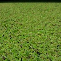 How to Grow Duckweed and Azolla