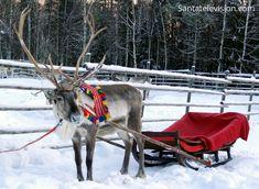 Joulupukin poro odottelee isäntäänsä Lapissa