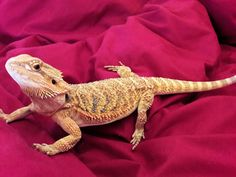bearded dragon looking mighty fine. he is a beaut