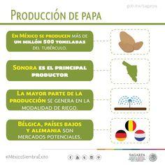 Producción de papa. SAGARPA SAGARPAMX #MéxicoSiembraÉxito
