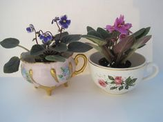 African violets in teacups. Too cute!