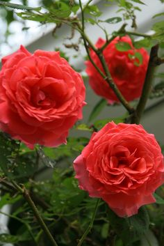 Beauty Rendezvous - Climbing Rose (by freckledfarm)