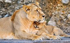 Lioness with a lion cub Big Cats, Cute Cats, Lion Hd Wallpaper, Lioness And Cubs, Animal Categories, Animal Puzzle, Lovely Creatures, Tier Fotos, Lion