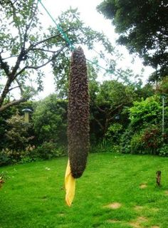 What to do if you spot a swarm of honeybees in your garden.