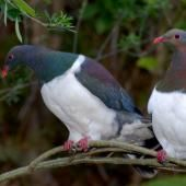 New Zealand pigeon. Perching pair. Maud Island, September 2008. Image © Peter Reese by Peter Reese