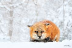 Red Fox by Ryu Jong soung on 500px