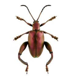 Sagra femorata - Red, Red Leaf Beetle