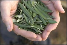 DIY Olive Leaf extract