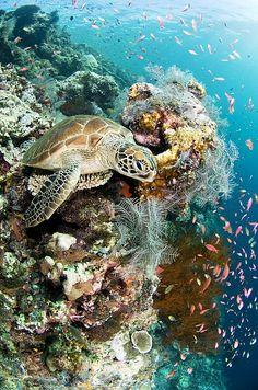 Matthew Oldfield Poster Print Wall Art Print entitled Green turtle, None Beautiful Creatures, Animals Beautiful, Turtle Love, Green Turtle, Fauna Marina, Underwater Life, Ocean Creatures, Tier Fotos, Sea And Ocean