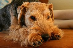 Welsh Terrier by lapideo, via Flickr