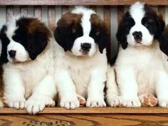 Saint Bernard Dogs | Dog Breed Saint Bernard Set Of Cute Pictures ...