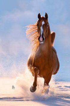 ROL DIVINE STYLE 2009 Chestnut Stallion  (Afire Bey V x IXL Miss Firefly)
