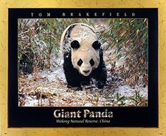Bring this impressive nature scenery art print framed poster which displays the image of the adorable Giant Panda walking in the snow Bamboo is sure to attract you and your guests towards it. It would be an idle gift for any wildlife nature lover. You'll definitely enjoy viewing this framed art as a part of your home. Its wooden golden frame accentuates the poster mild tone. The frame is made from solid wood measuring 18x22 inches with a smooth gesso finish. This framed poster includes a…