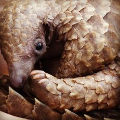 """Meet Champ, the baby orphaned pangolin!""  ""These animals are considered royal game in Zimbabwe, but even so, very little is known about them because they are very quiet and just roll into a ball when they are scared."""