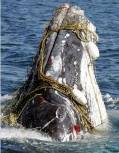not a sea turtle - a whale entangled yet still alive in fisherman's net-just as dangerous for whales as turtles !!