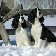 """Click visit site and Check out Cool """"English Springer Spaniel"""" T-shirts. This website is excellent. Tip: You can search """"your name"""" or """"your favorite shirts"""" at search bar on the top."""