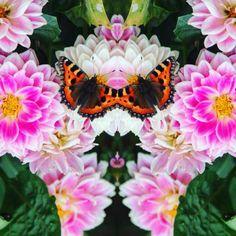 🌺 That's pretty pretty. #tortoiseshellbutterfly #myphotography #butterfly #mirroreffect #layout #flowers #summer #nature #prettycool #uk