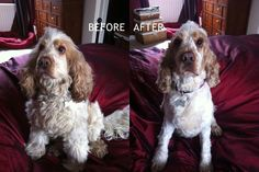 My dog before and after her haircut today!