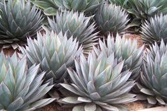 Agaves at Succulent Gardens