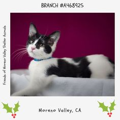 LITTERMATES: A468923 924 AND 926  AT RISK IF NOT ADOPTED OR RESCUED BY END OF DAY DEC 9TH   BRANCH #A468925 Moreno Valley CA Male black and white Domestic Shorthair mix. 4 months old I have been at the shelter since Dec 02 2016 and I may be available for adoption on Dec 09 2016 at 10:51AM.  http://ift.tt/2g5ZWhB  Moreno Valley Animal Shelter at (951) 413-3790 Ask for information about animal ID number A468925  #adoptdontshop #savealifeadopt #sheltercats #catsofinstagram #CA #morenovalley…
