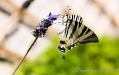 Papillon gourmand by Stéphane THIEBAUT on 500px